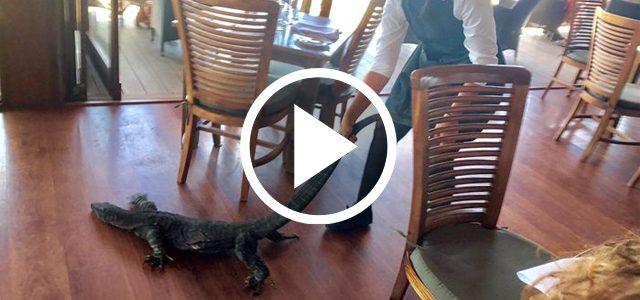 En Australie, une française sort un goanna d'un restaurant par la queue
