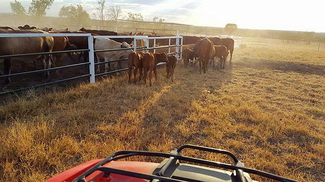 rassemblement de troupeau