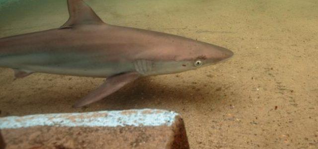 Un requin dans une piscine à Sydney