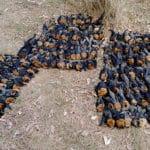 Canicule Australie : des centaines de chauves souris retrouvées mortes