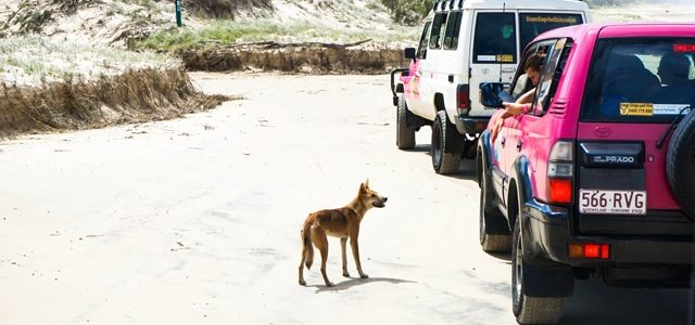 Excursion sur Fraser Island 2j – Expérience avec Fraser Dingo