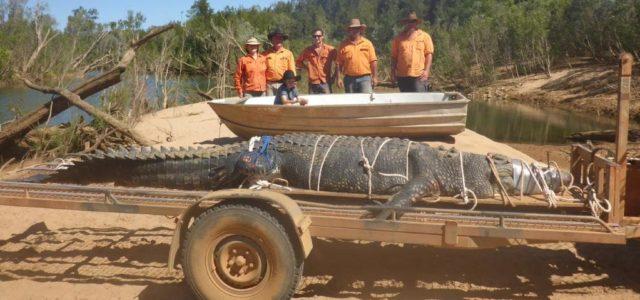 Un crocodile de 4,7m capturé en Australie, une traque qui aura durée 8 ans !