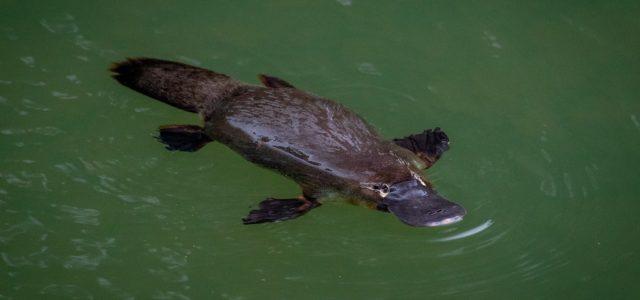 L'Ornithorynque d'Australie (Platypus)