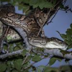 Les serpents en Australie