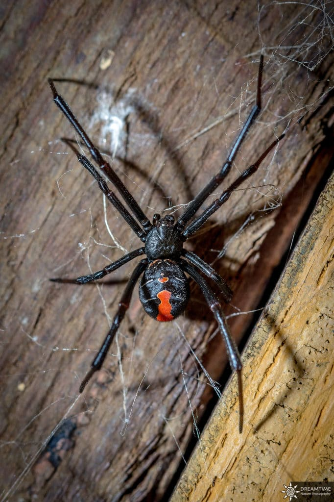 spinnen in australien Reback Spider