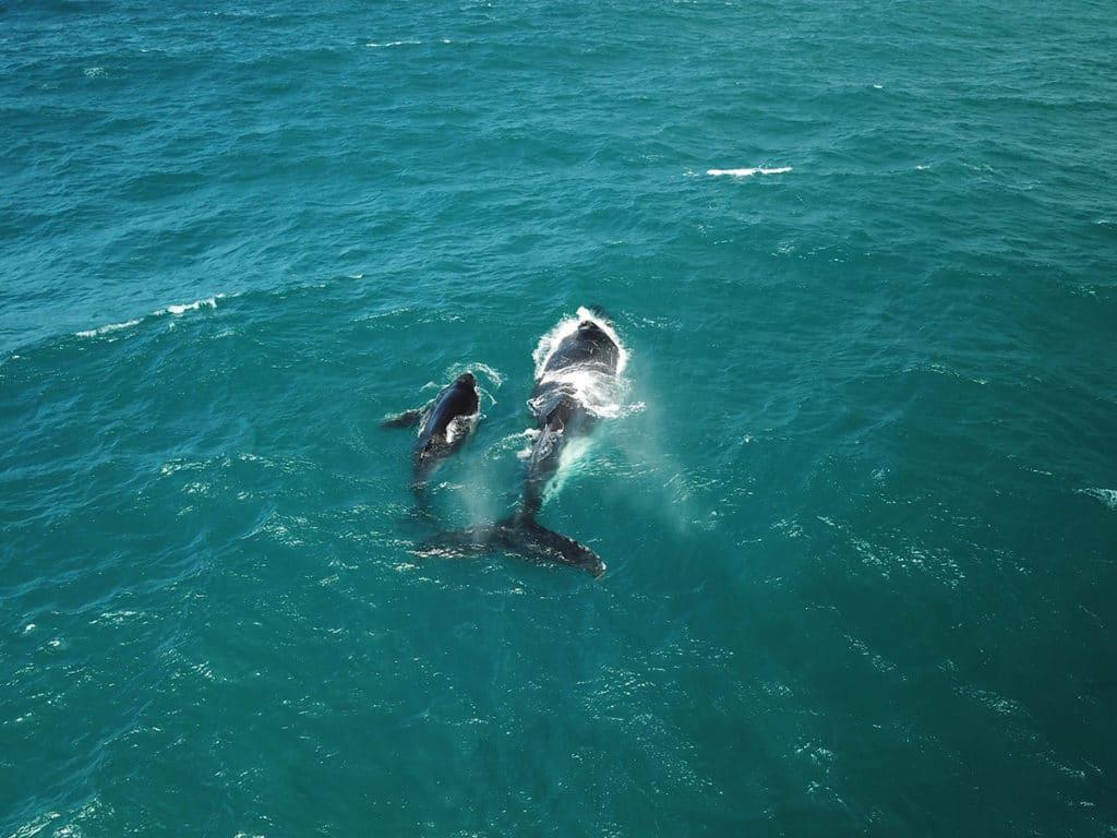 baleines a bosse australie